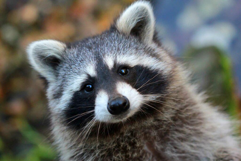 Racoon - wildlife removal columbia sc