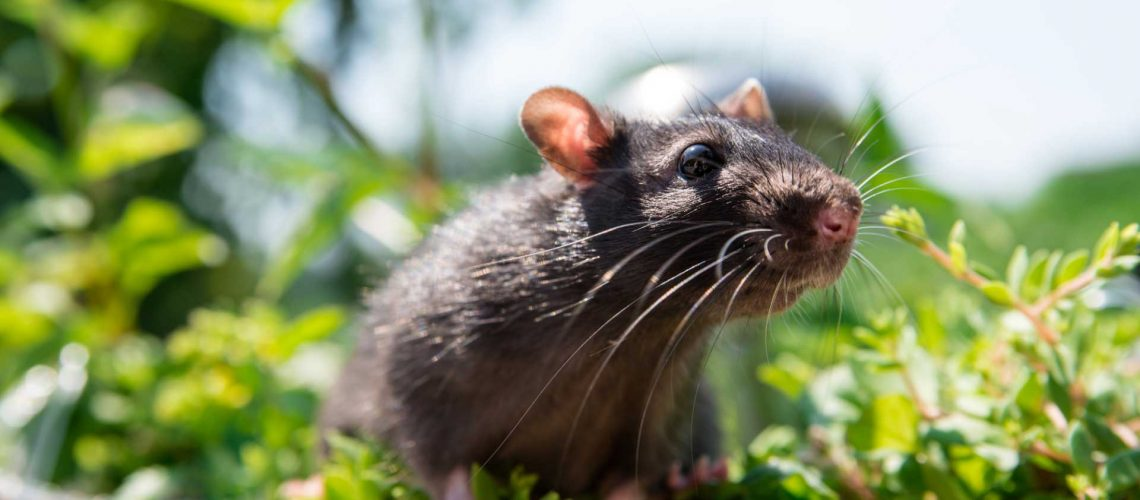 Rat - wildlife removal columbia sc