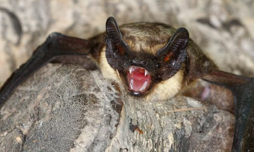 Bat - wildlife removal columbia sc