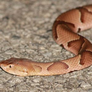 Copperhead - snake removal columbia sc