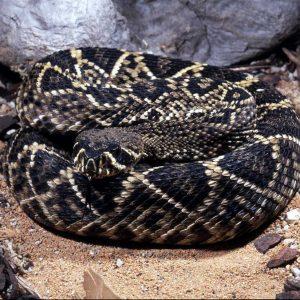 Diamondback Snake - snake removal columbia sc