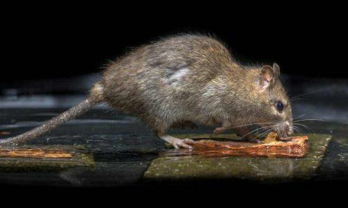 Rat - rat removal columbia sc