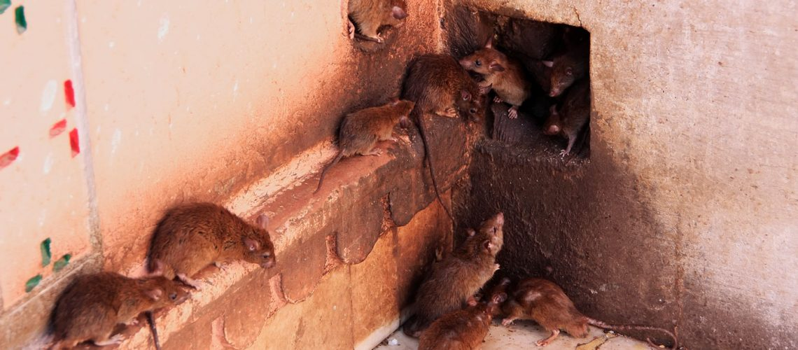 Rat Infestation - Wildlife Removal Columbia SC