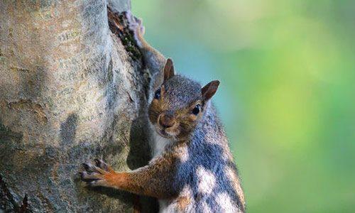 Squirrel - squirrel removal columbia sc