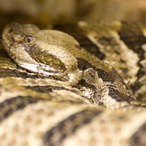 Rattlesnake - snake removal columbia sc