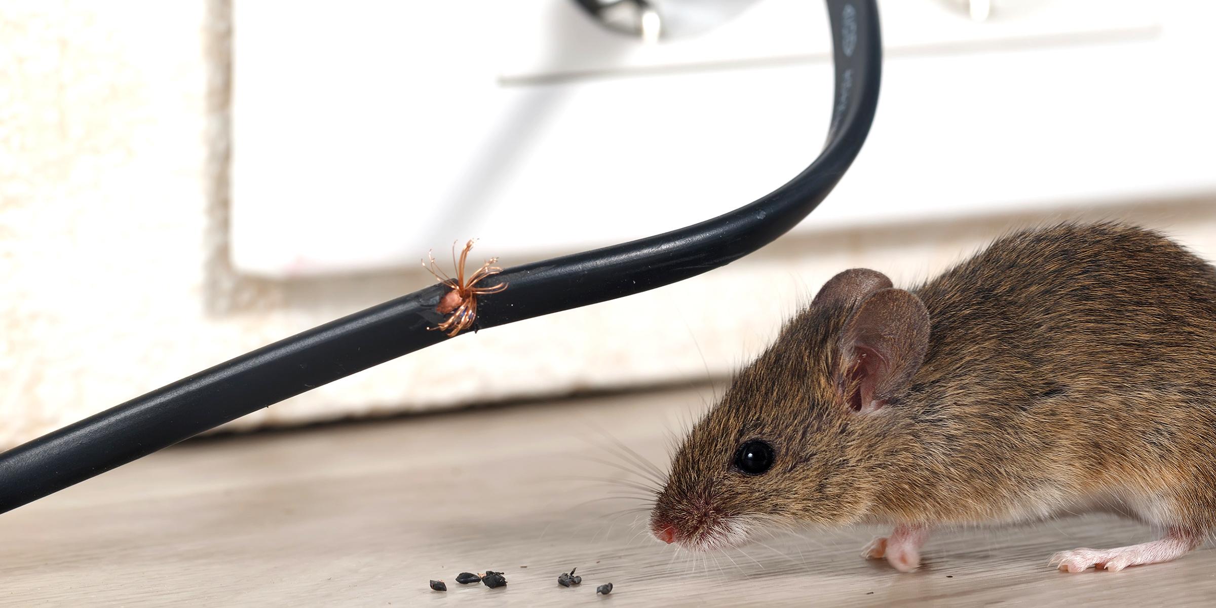 Columbia SC Rat Exterminator