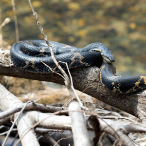 Snake On Branch - wildlife removal columbia sc