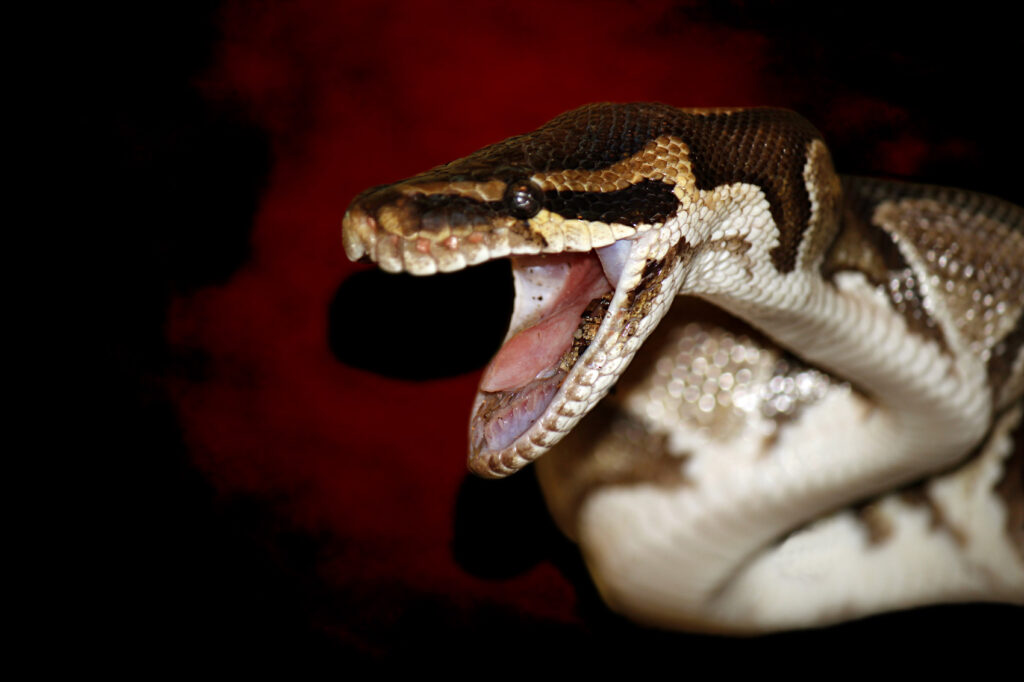 Snake With Open Mouth - columbia snake removal